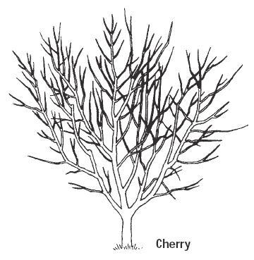fruit trees, hollybrook orchards cherry pruning diagram Diagram of an Apple Seed