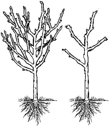 fruit trees  hollybrook orchards plum pruning diagram